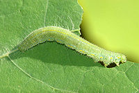 Pieris.rapae.caterpillar.jpg