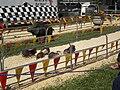 Pig racing at 2008 San Mateo County Fair 9.JPG