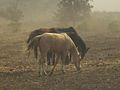 PikiWiki Israel 14539 Horses in the wind.jpg