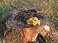 Pilz in Baumstumpf einer Zierkirsche 1.jpg