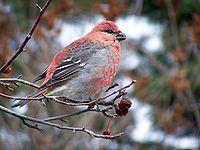 Pine grosbeak17e