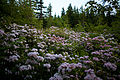 Pink-spring-forest-wildlfowers - West Virginia - ForestWander.jpg