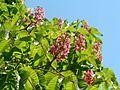 Pink chestnut tree flowers.jpg