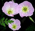 Pink primrose or buttercups -- Oenothera speciosa.jpg