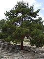Pinus brutia Arykanda 1.jpg