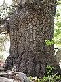 Pinus heldreichii leg P.Cikovac Jastrebica Mt Orjen.jpg