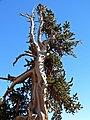 Pinus longaeva 9.jpg