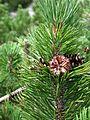 Pinus mugo subspecies mugo Hochschwab.jpg