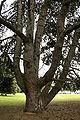 Pinus nigra JPG3Ab.jpg