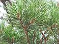 Pinus pungens foliageBlue Ridge Parkway.jpg