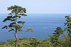 Pinus thunbergii Izu Oshima.jpg