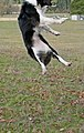 Pippin jumps clear out of the shot - panoramio.jpg