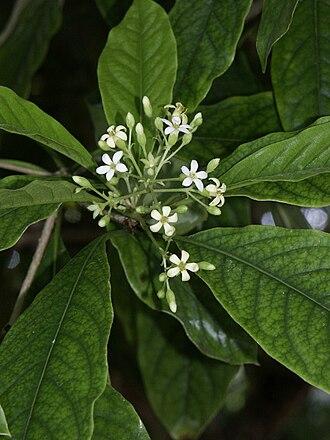 Pittosporum - Pittosporum moluccanum