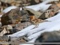 Plain Mountain Finch (Leucosticte nemoricola) (38741254235).jpg