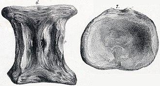 Elasmosaurus - Vertebra of Plesiosaurus constrictus, which Cope assigned to Elasmosaurus