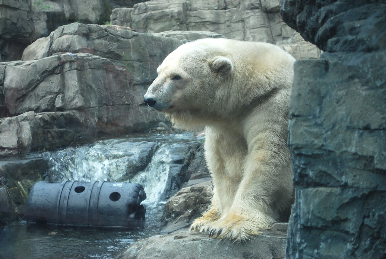 File:Polar Bear at Cen...