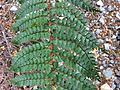 Polystichum vestitum Governors Bush Walk Mount Cook 2.JPG