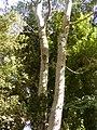 Populus alba4.JPG