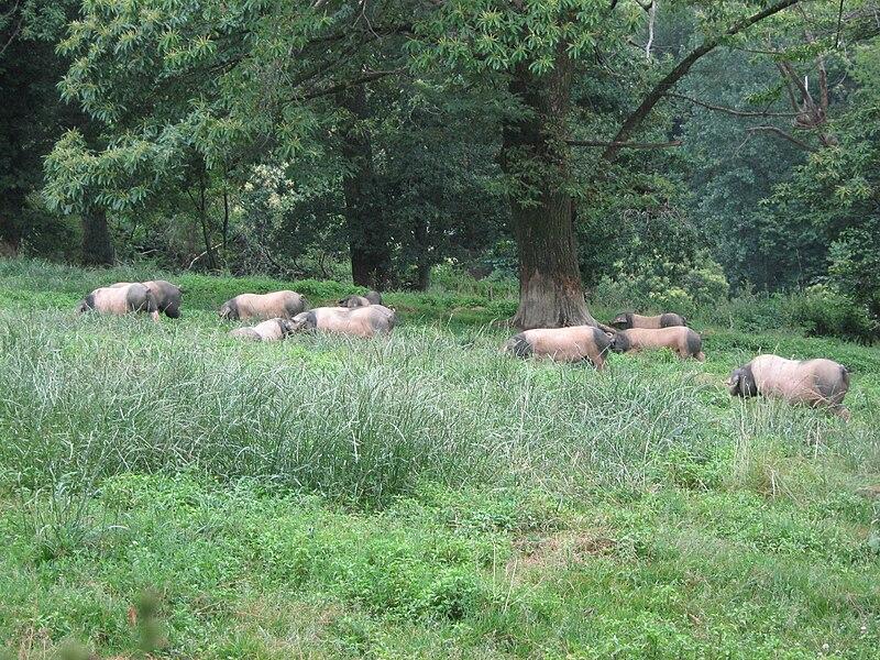 File:Porc basque elevage.JPG