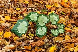 Prachtig nieuw blad van Cyclamen hederifolium tussen herfstbladeren van bomen 02.jpg