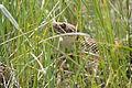 Prairie Rattle Snake.JPG