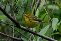 Prairie Warbler (male) Fall Out Sabine Woods TX 2018-04-08 08-58-54-3 (41443255062).jpg