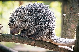 Prehensile Tail Porcupine Curled and Relaxed (18144690005).jpg