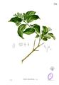 Premna leucostoma Blanco2.396.png