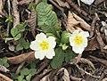 Primula acaulis subsp. acaulis (Çuha çiçeği) 07.jpg