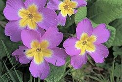 Primula vulgaris 02.jpg