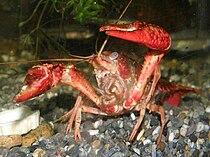 Procambarus clarkii9284477アメリカザリガニ.jpg