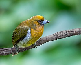 Prong-billed Barbet (16605416701).jpg
