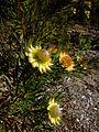 Protea scolymocephala02 (3).JPG