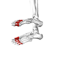 Proximal phalanges of foot04 inferior view.png