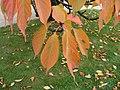Prunus Serrulata.Serres d'Auteuil 002.jpg
