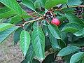 Prunus cerasus. Guindal.jpg