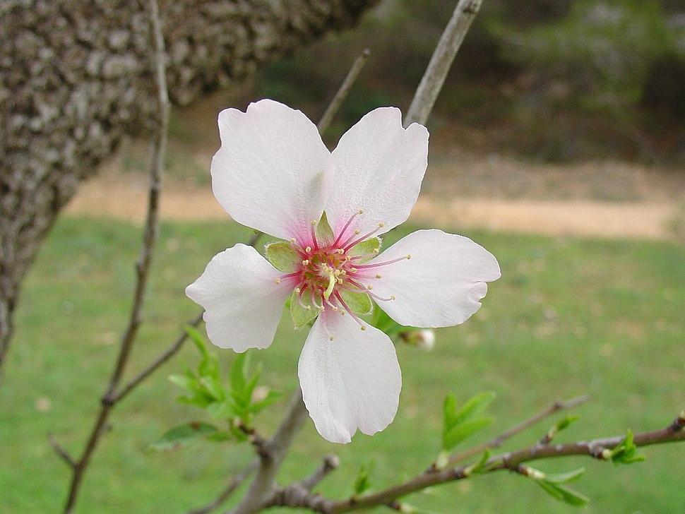 Prunus dulcis flor