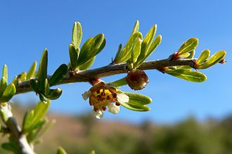 Fascicle (botany) - Prunus fasciculata