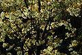 Prunus lannesiana 'Grandiflora'-Ukonzakura,ウコン桜 8921.JPG