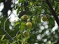 Prunus persica (7760160884).jpg