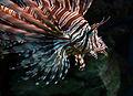 Pterois volitans Cologne Zoo 31122014 2.jpg