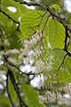 Pterostyrax psilophyllus fleurs.jpg