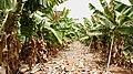 Puerto de Mogan to Playa de Veneguera, banana plantations by the road (XII) - panoramio.jpg
