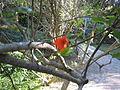 Punica granatum 'flore plene' - Jardin d'Éden 5.JPG