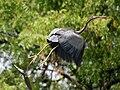Purple Heron (Ardea purpurea) taking off W IMG 7559.jpg