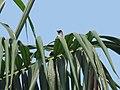 Pycnonotus aurigaster (41009301511).jpg
