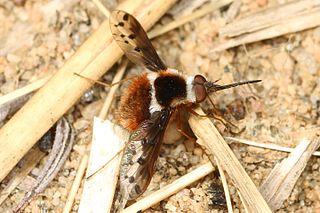 <i>Bombylius pygmaeus</i> species of insect