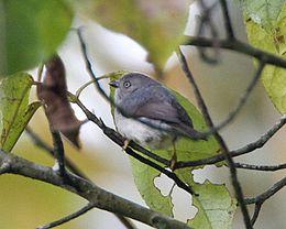 Pygmy Tit (Psaltria exilis)