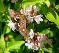 Pyrausta aurata. Pyralidae - Flickr - gailhampshire.jpg