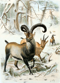 An artist's color drawing of the Pyrenean ibex